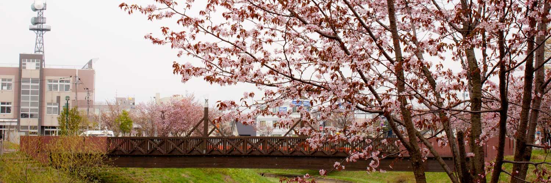 岩見沢市はぎぞの緑地の桜と千樹橋