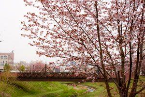 世界に誇る千樹橋と桜